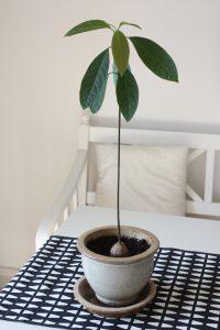 Pædagogik er som en avocado-plante